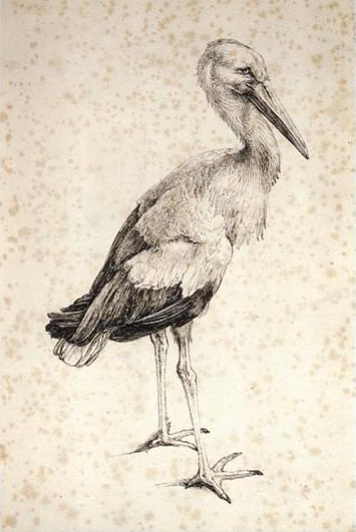 Stork by Albrecht Durer